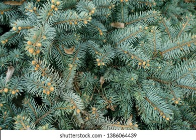 Blue or silver spruce needles texture background. Engelmann spruce pattern. Nature texture of Picea engelmannii or white spruce or mountain spruce branches.