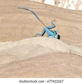 Blue Sinai lizard in Petra