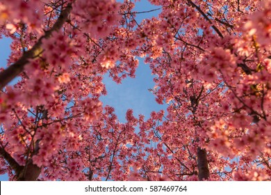 Blue Skies and Cherry Blossoms