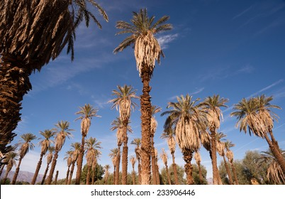 Blue skies make a good background for tropical palm trees in Death Valley