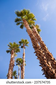 Blue skies make a good background for tropical palm trees in Palm Springs