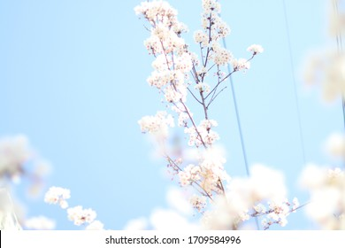 blue sky and cherryblossoms