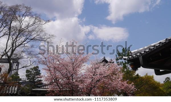 Blue sky and the blooming sakura