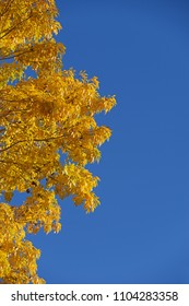 blue sky with bright yellow fall leaves