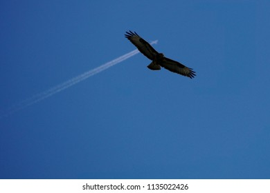 Blue sky with a buzzard in the front and a jet plane with contrails in the background