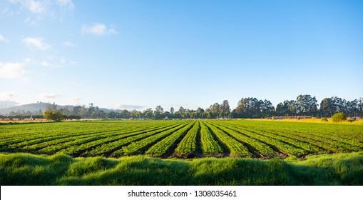 blue sky carrot plantation