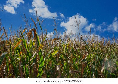 Blue Sky And Cornfield