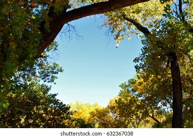 Blue sky framed by golden cottonwood tree branches. Rio Grande Valley State Park, Albuquerque, New Mexico.