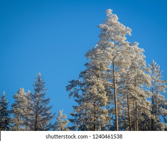 blue sky and frozen trees