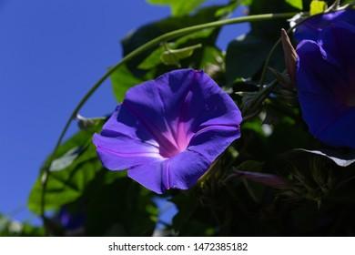 Blue sky and japanese blue morning glory