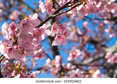 Blue sky and Kawazu cherry blossoms, Ichikawa City, Chiba Prefecture, Japan