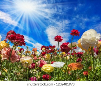The blue sky and light clouds are illuminated by the warm spring sun. Multi-colored buttercups on high stalks are shaken on easy spring wind. The concept of artistic photography