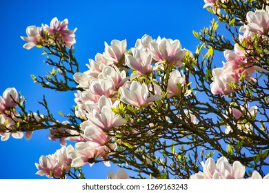 Blue sky with magnolia blossom / Magnolias are shrubs or trees that are summer or evergreen