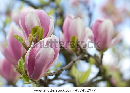 Blue Sky Magnolia Flowers Look Like Stock Photo Edit Now 497492977