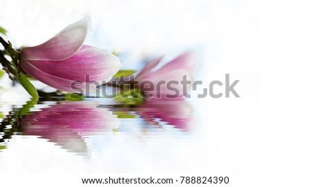 Blue Sky Magnolia Flowers Look Like Stock Photo Edit Now 788824390