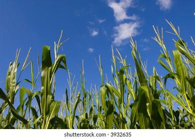 A blue sky over corn stalks in a farm field in central Illinois
