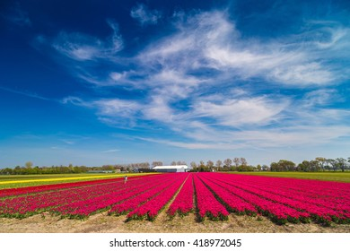 Blue sky over purple and yellow tulip fields near village of Lisse in the Netherlands in May