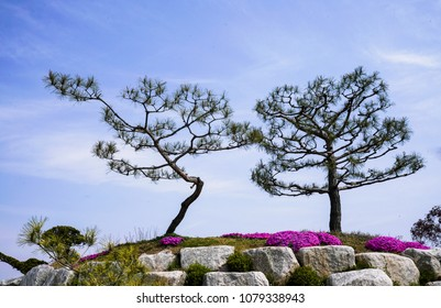 Blue sky and pine tree