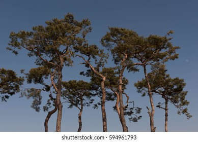 Blue sky and pines