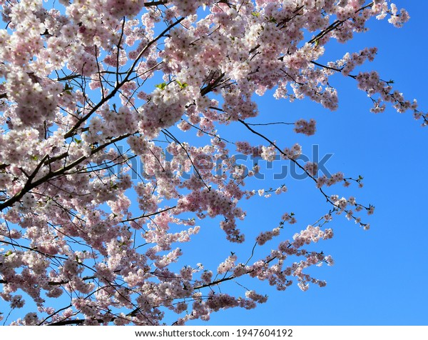 a blue sky and pink blossoms
