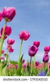 庭には青い空と紫のチューリップ