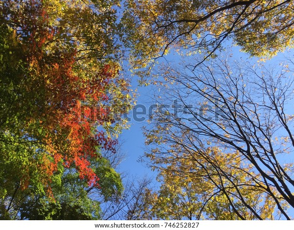 Blue sky with red maples