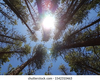 Blue sky and sun behind tall trees, viewed directly upwards