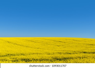 Blue sky, sun and yellow canola field.