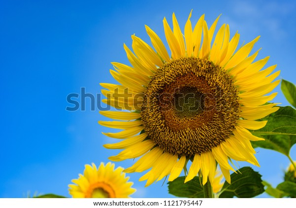 Blue sky and sunflower