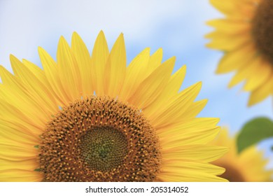 Blue Sky And Sunflower Field