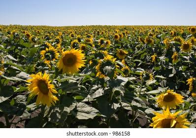 Blue sky and Sunflower field