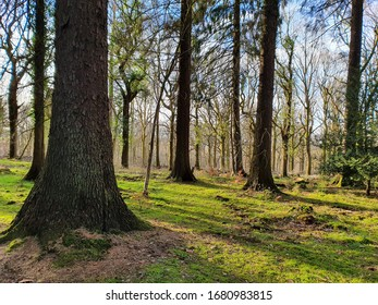 Blue sky and sunshine - an unexpected guest on a walk through an English forest. A magnificent, thick tree sits in the foreground to the left, keeping watch over it's thinner brethren. The glorious su