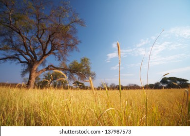 Blue sky and tree on the horizon of a typical winter African grassland Savannah