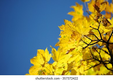 blue sky yellow leaves