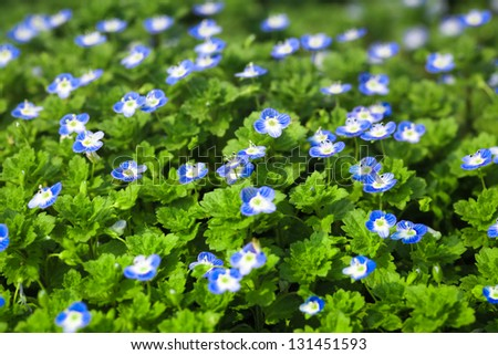 Blue small flower full bloom early stock photo edit now 131451593 blue small flower in full bloom at early spring mightylinksfo