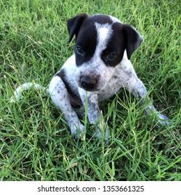 Blue Smithfield Pup in long green grass