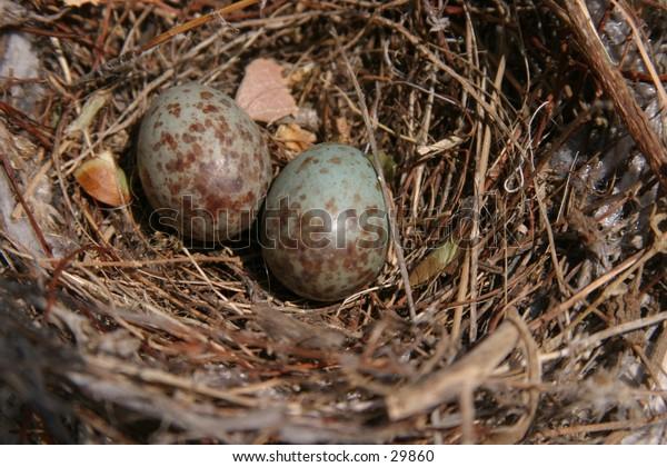 blue sparrow eggs in a bird nest