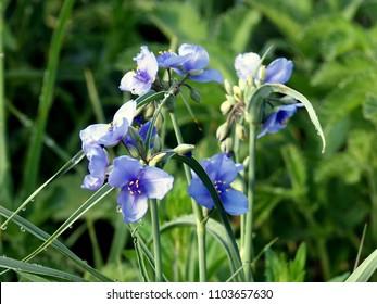 Blue spiderwort flowers on a spring prairie. Close-up.