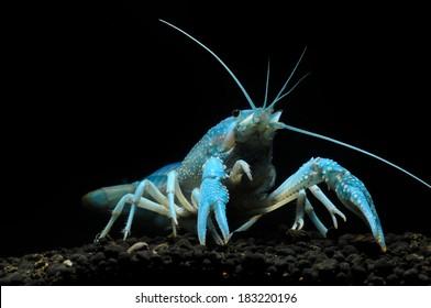 Blue Spot Fresh Water Crayfish