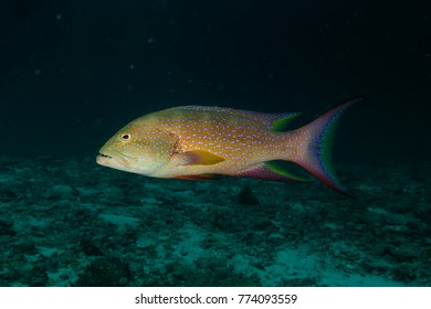 Blue spotted grouper or rockcods (Epinephelus) ,colorful fish in tropical coral reef, Andaman sea, Thailand