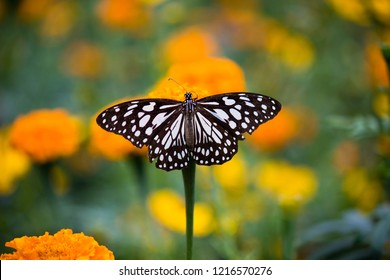 The blue spotted milkweed butterfly sitting on the marigold flower plants in a nice soft colorful background.