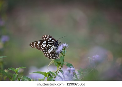 The blue spotted milkweed butterfly sitting on the flower plants in a nice green background
