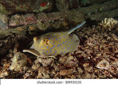 A blue spotted ribbontail ray