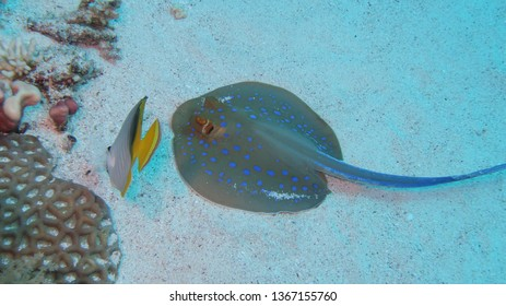 A blue spotted ribbontail ray and a butterfly fish searching for food or prey in the sand bottom of the reef in the Red Esea in Egypt for food