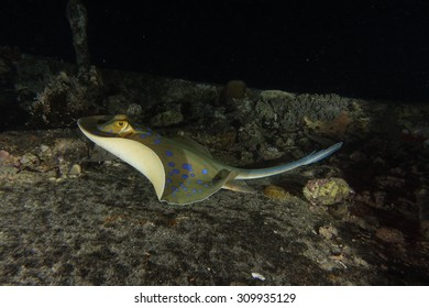 A blue spotted ribbontail ray swimming