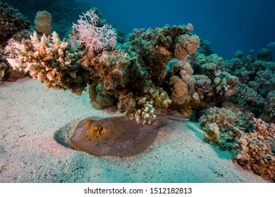 Blue spotted sting ray hidden under the coral reef. Egypt, souther Red Sea.