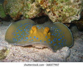 Blue Spotted Stingray Frontal