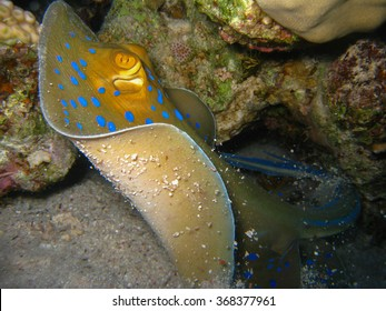 Blue Spotted Stingray Taking Off