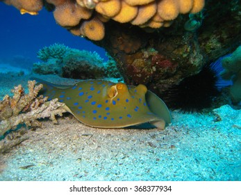 Blue spotted stingray under coral