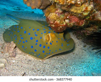 Blue spotted stingray under coral reef